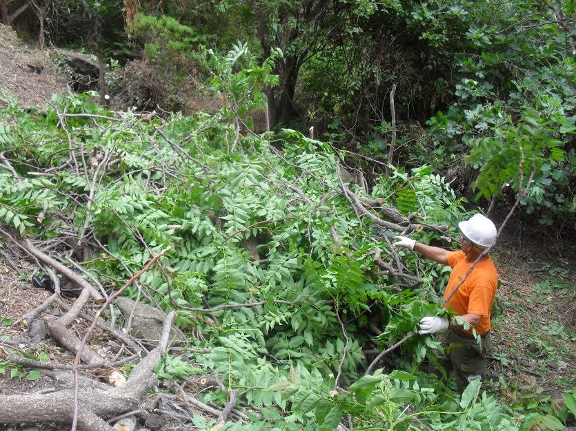 Los trabajos se realizaron de forma manual para eliminar esta especie que ponía en peligro diferentes plantas autóctonas