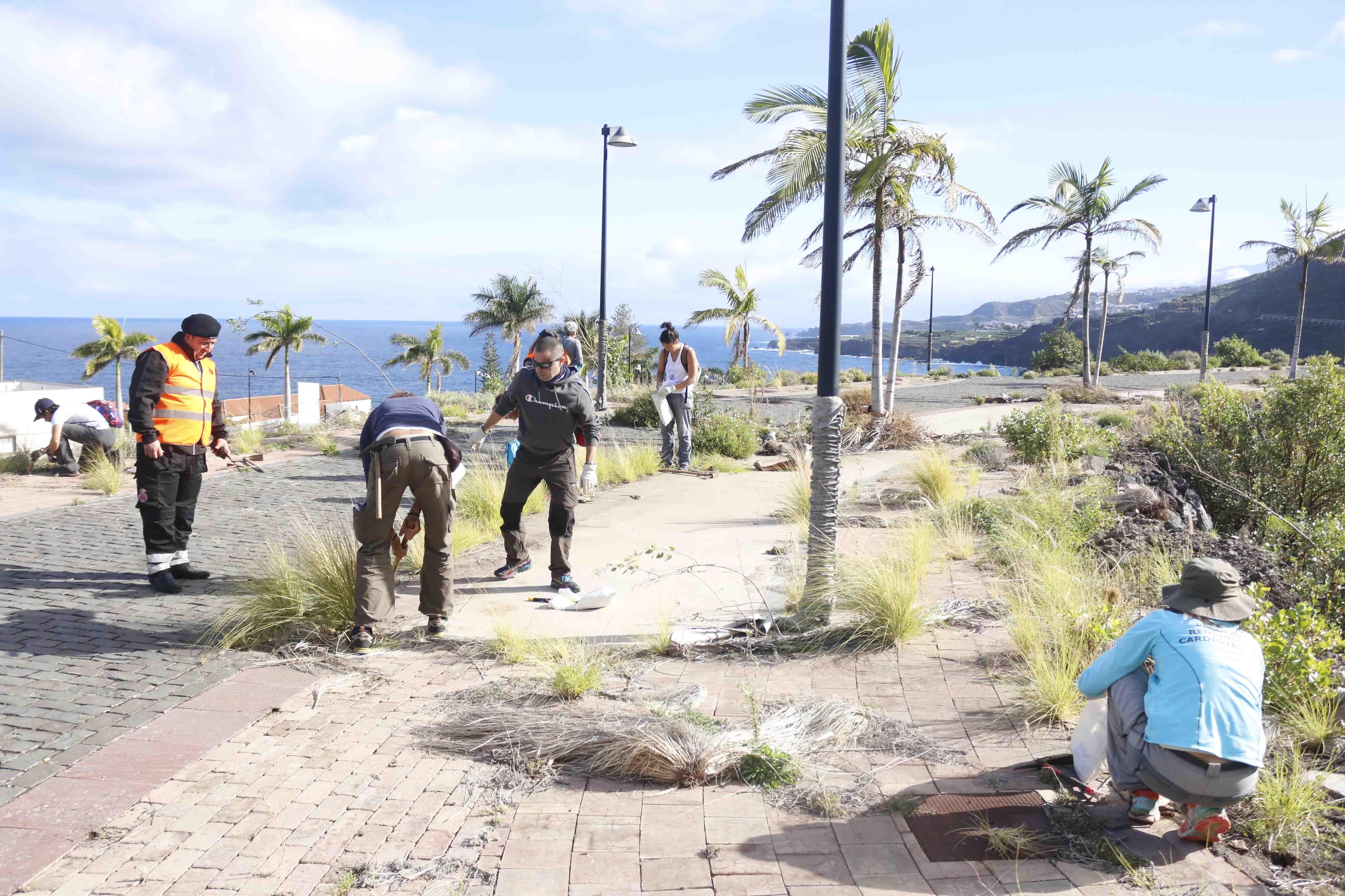 Labores de erradicación de rabo de gato en la urbanización El Lamero